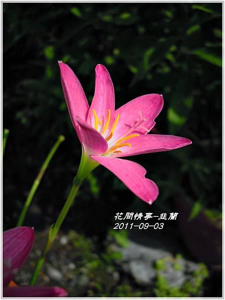 2011-08-韭蘭21.jpg