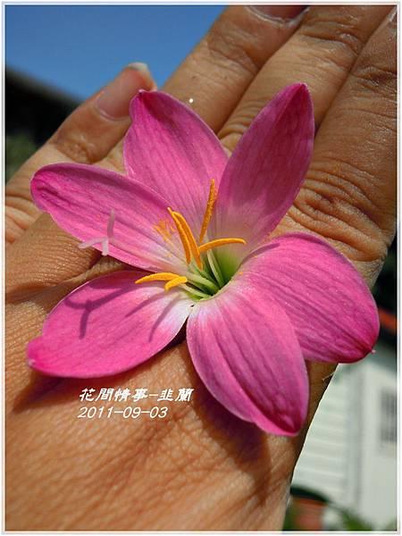 2011-08-韭蘭23.jpg