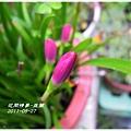 2011-08-韭蘭2.jpg