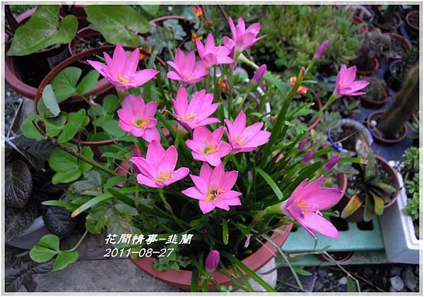 2011-08-韭蘭1.jpg