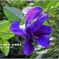 2011-09-重瓣蝶豆1.jpg
