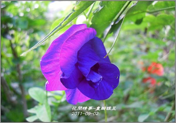2011-09-重瓣蝶豆2.jpg