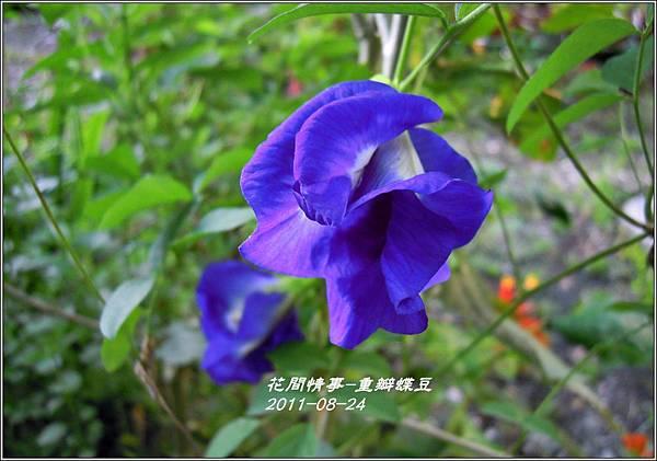 2011-09-重瓣蝶豆3.jpg