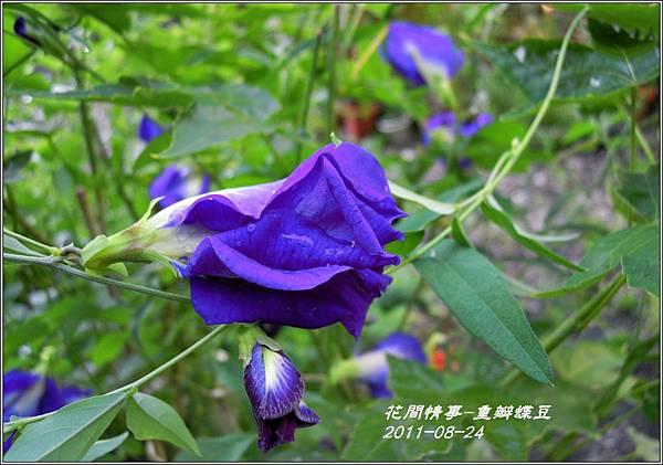 2011-09-重瓣蝶豆4.jpg