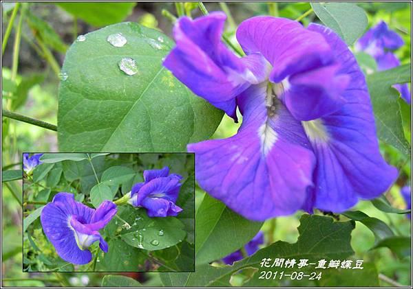 2011-09-重瓣蝶豆6.jpg