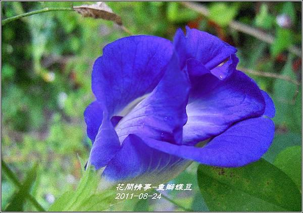 2011-09-重瓣蝶豆7.jpg