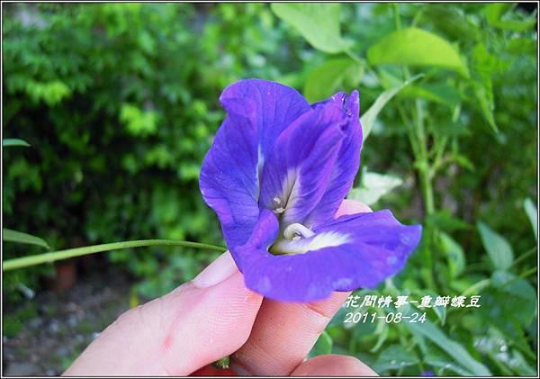 2011-09-重瓣蝶豆11.jpg