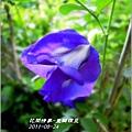 2011-09-重瓣蝶豆12.jpg
