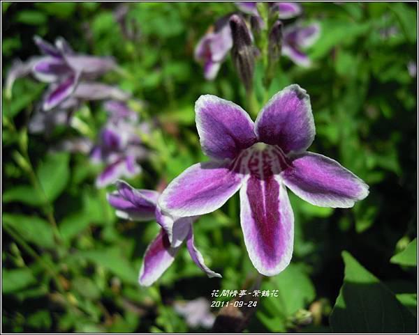2011-10-紫鶴花15.jpg