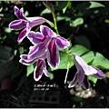 2011-10-紫鶴花1.jpg