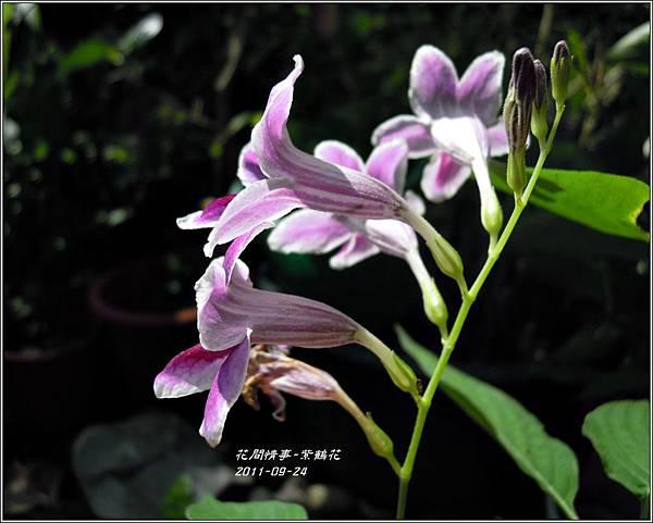 2011-10-紫鶴花2.jpg