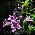 2011-10-紫鶴花3.jpg