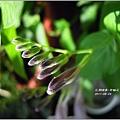 2011-10-紫鶴花5.jpg
