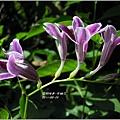2011-10-紫鶴花6.jpg