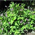 2011-10-紫鶴花7.jpg