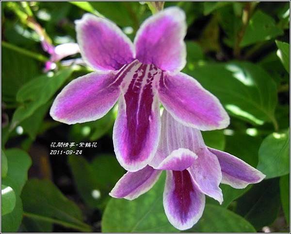 2011-10-紫鶴花8.jpg
