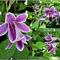 2011-10-紫鶴花9.jpg