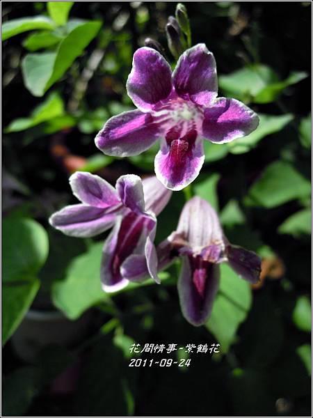 2011-10-紫鶴花10.jpg