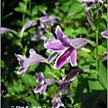 2011-10-紫鶴花11.jpg