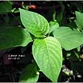 2011-10-紫鶴花12.jpg