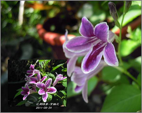 2011-10-紫鶴花13.jpg