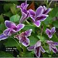 2011-10-紫鶴花14.jpg