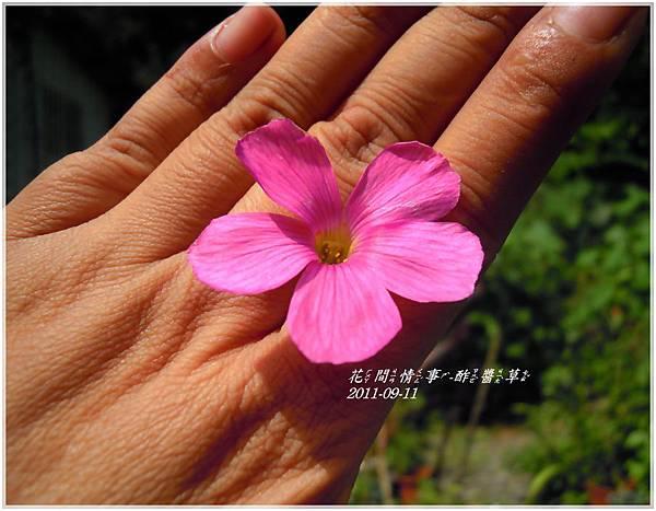 2011-09-酢醬草12.jpg