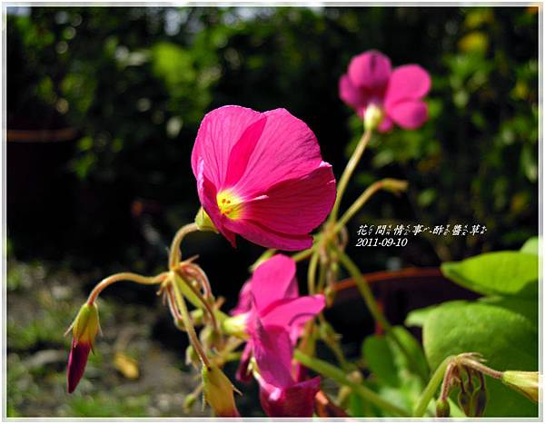 2011-09-酢醬草1.jpg
