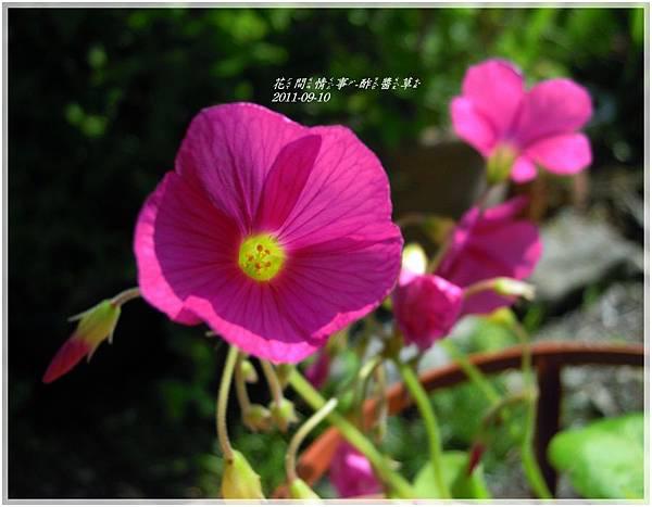 2011-09-酢醬草3.jpg