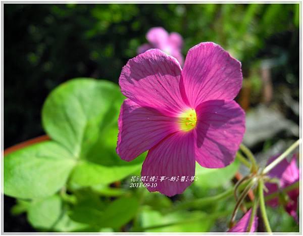 2011-09-酢醬草4.jpg