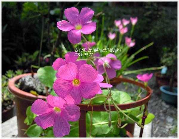 2011-09-酢醬草6.jpg