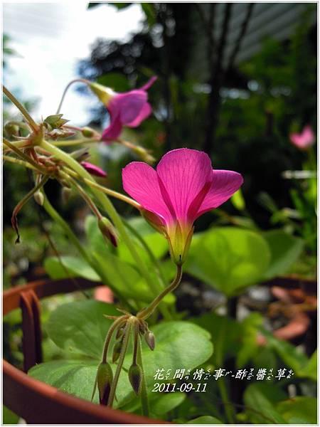 2011-09-酢醬草7.jpg