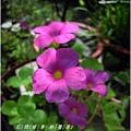 2011-09-酢醬草8.jpg