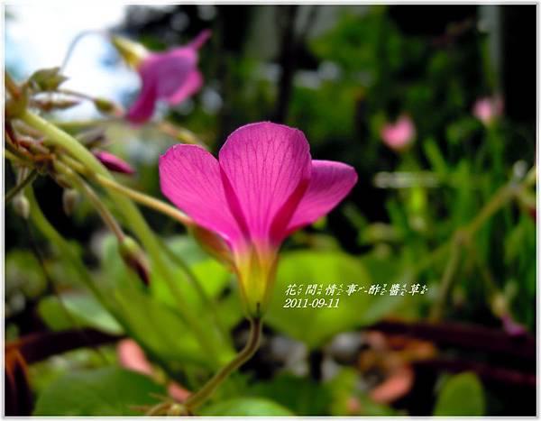 2011-09-酢醬草10.jpg