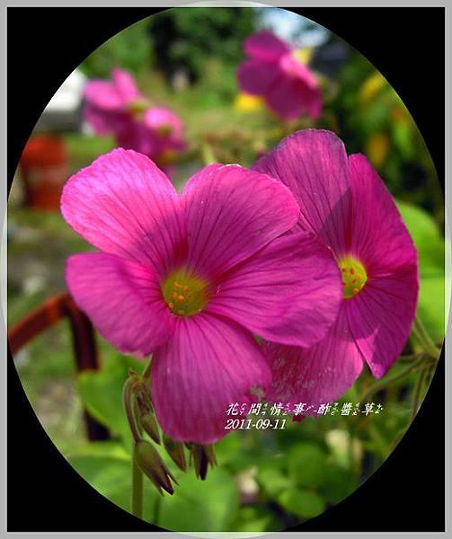 2011-09-酢醬草11.jpg