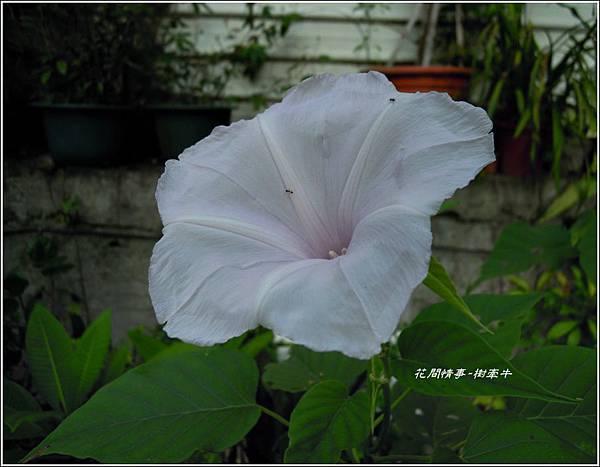 2011-10-樹牽牛20.jpg