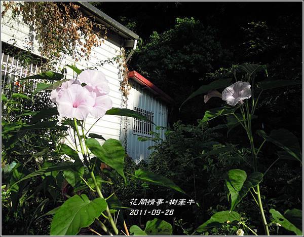 2011-10-樹牽牛5.jpg