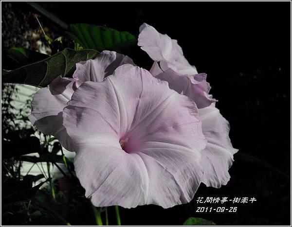 2011-10-樹牽牛7.jpg