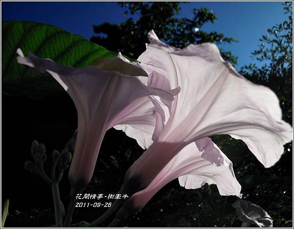 2011-10-樹牽牛9.jpg