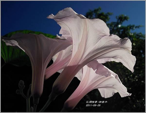 2011-10-樹牽牛10.jpg