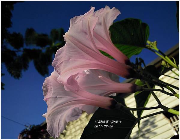 2011-10-樹牽牛11.jpg