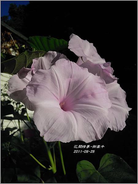 2011-10-樹牽牛12.jpg