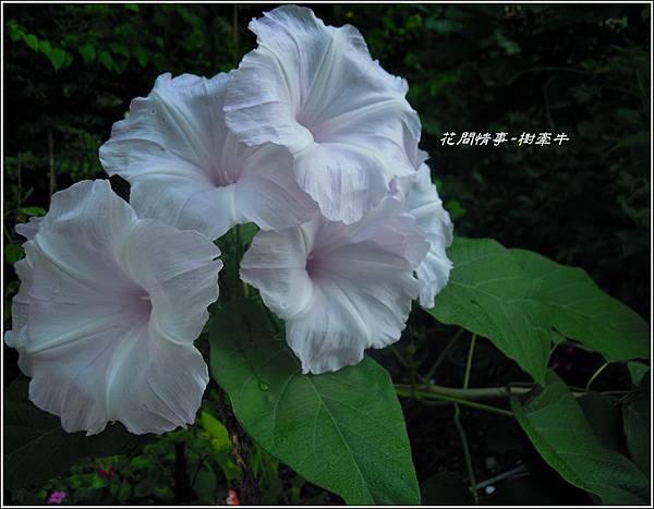 2011-10-樹牽牛19.jpg