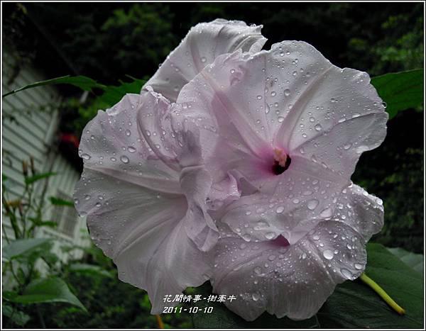 2011-10-樹牽牛21.jpg