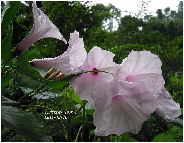 2011-10-樹牽牛22.jpg