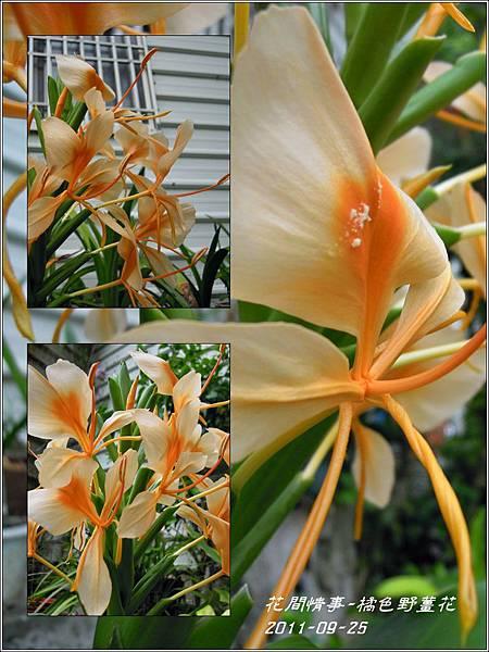 2011-10-橘色野薑花8.jpg