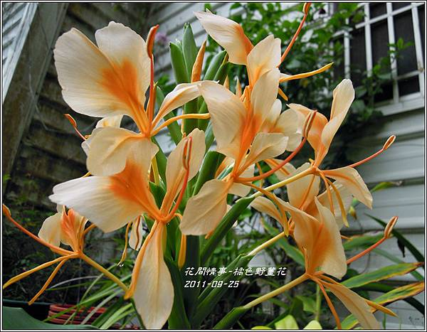 2011-10-橘色野薑花2.jpg