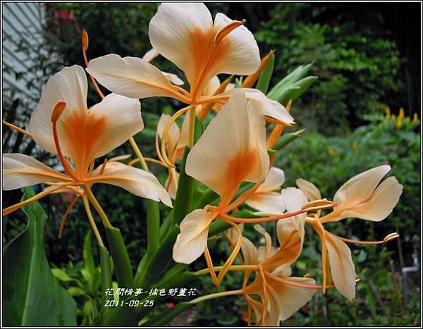 2011-10-橘色野薑花4.jpg