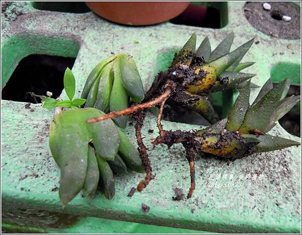 2011-10-多肉植物5.jpg