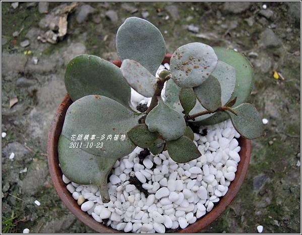 2011-10-多肉植物17.jpg